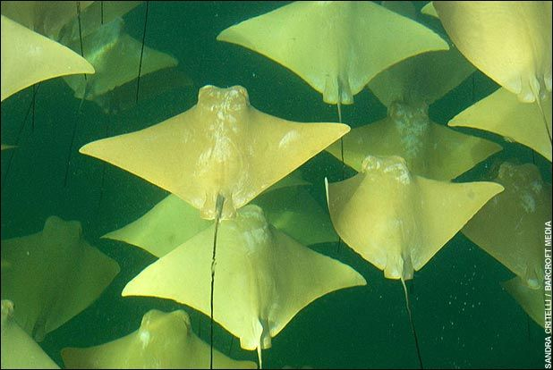 stingray-migration-yucatan