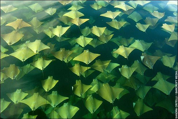 stingray-migration-fins