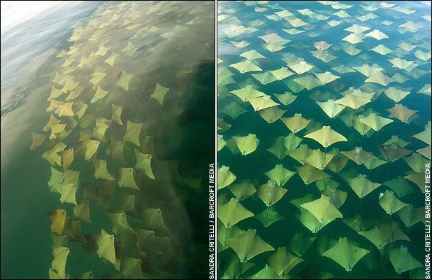 stingray-migration-thousands