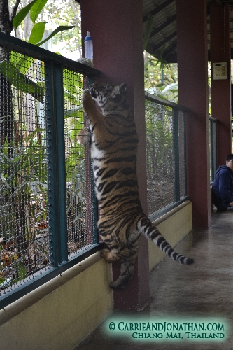 Tiger Kingdom, play with tigers, Chiang Mai, Thailand
